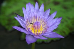 lotus-1379506